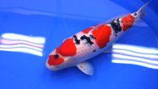 2016 Shinkokai All Japan Koi Show – Kokugyu Prize 70 Bu