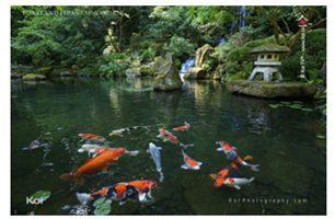 2012 PORTLAND JAPANESE GARDEN KOI RELEASE