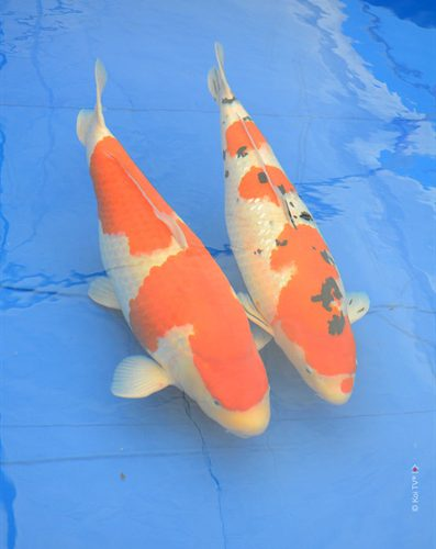 Koi TV®'s trip to 2016 Oregon Koi and Watergarden Society Koi Show