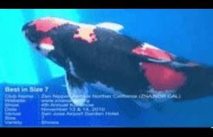 Best in Size 7 : ZNA Northern California (ZNA NOR CAL) 2010 Koi Club Show